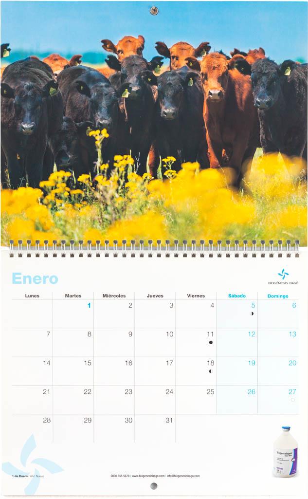 Mes de enero del Calendario empresarial Biogénesis-Bagó con una imagen de ganado vacuno Aberdeen angus del Banco de imágenes de Marco Guoli, Argentina