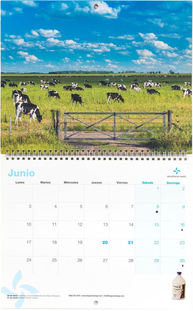 Mes de junio del Calendario empresarial Biogénesis-Bagó con una imagen de ganado vacuno holando argentina pastando del Banco de imágenes de Marco Guoli, Argentina