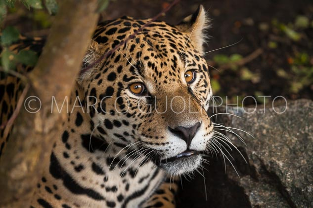 primer plano de un macho de yaguareté, panthera onca