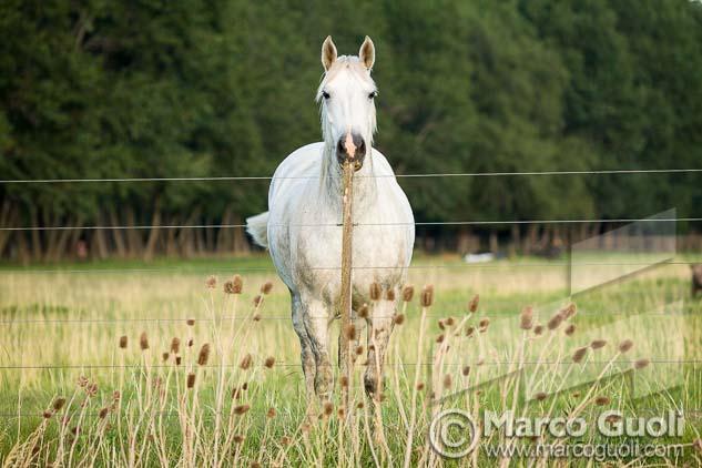 Fotografía de un caballo blanco detrás de un alambrado de Marco Guoli, una de las 7 imágenes elegidas para la muestra para el día del caballo organizada anualmente por el  Ministerio de agricultura, ganadería y pesca de la Argentina
