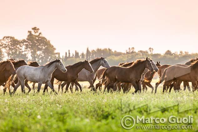 imagen de alta resolución de caballos del Banco de imágenes de Marco Guoli publicada en la tapa de la brochure Alambrado de Bodega Familia Zuccardi