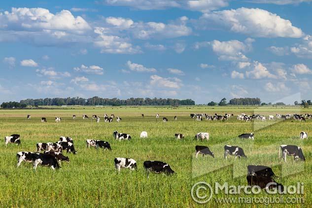 fotografías de vacas holando-argentino pastando en un tambo del Banco de imágenes de Marco Guoli, publicadas en una Carpeta de presentación de producto de Las Becerras Lácteos Verónica
