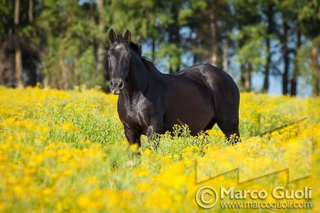imagen de alta resolución de un caballo negro del Banco de imágenes de Marco Guoli publicada en la tapa de la brochure Alambrado de Bodega Familia Zuccardi