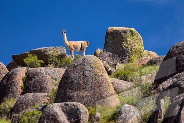 La pagina del mes de abril del Calendario Argentina 2021, con una foto de un guanaco en el Parque Nacional Lihue Calel, La Pampa, Argentina