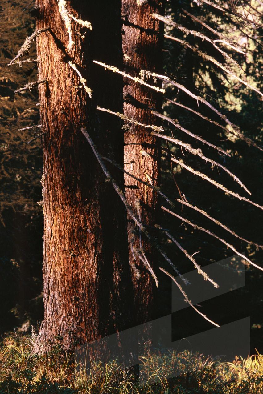 Foto de Pinus cembra, Italia