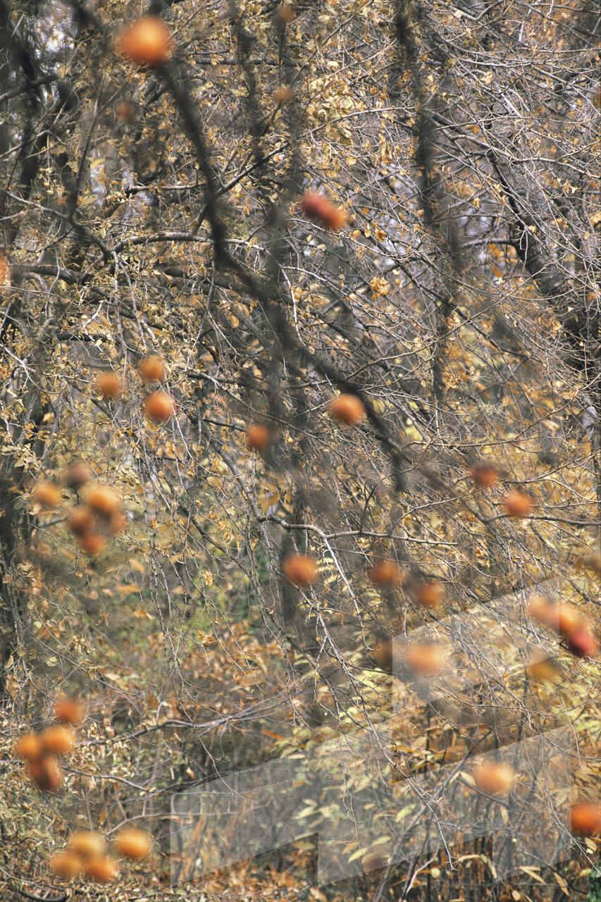 Foto de Diospyrus virginiana, Italia